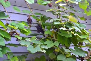 The grape vines