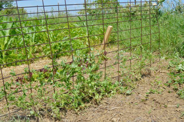 July garden update03