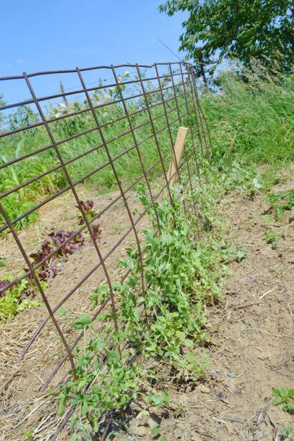 July garden update04