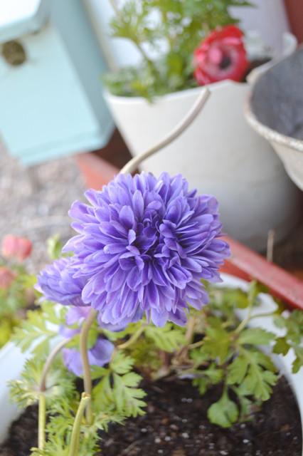 Monrovia flowers2