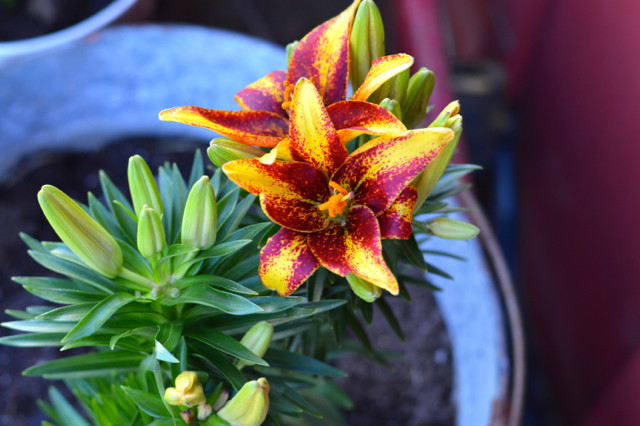 Monrovia flowers4