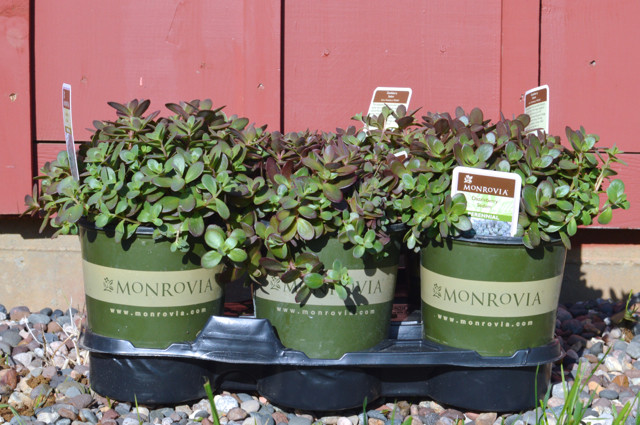 Monrovia succulents in window boxes1