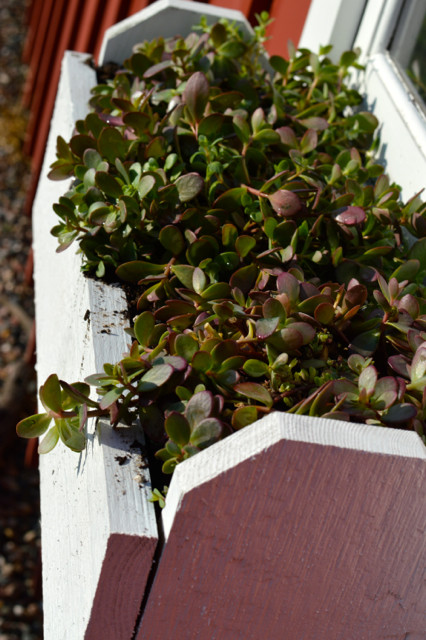 Monrovia succulents in window boxes4